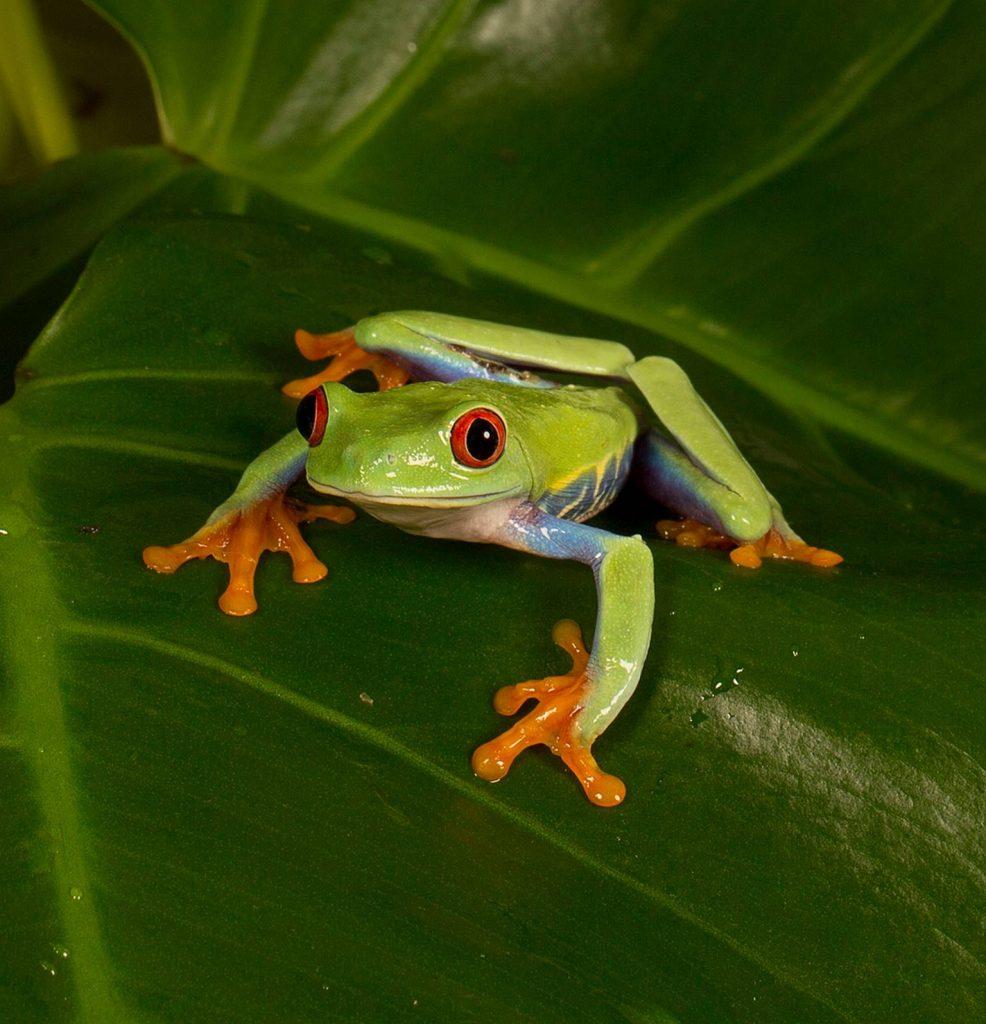Tiny  Tree Frog 13 A_2